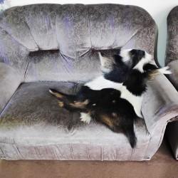 پوست بز پادری -cg4185 goat rug
